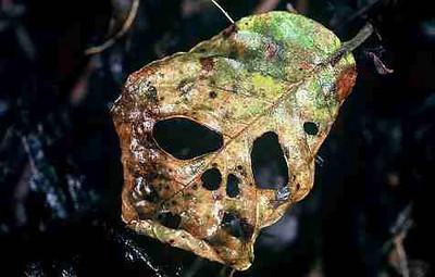 reaper leaf
