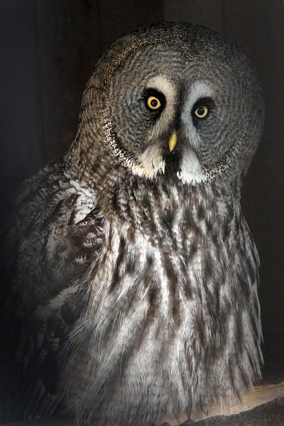 Misty, a female Great Grey Owl born 2007