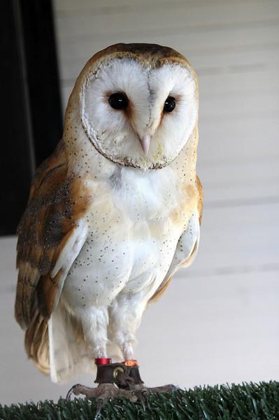 Wallace, a Barn Owl born 2010.