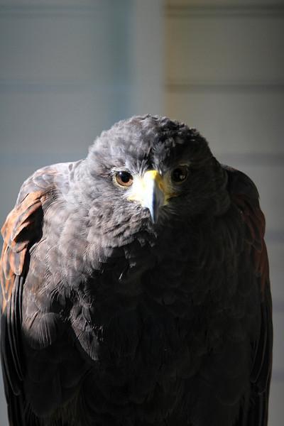 Molly, a female Harris Hawk.