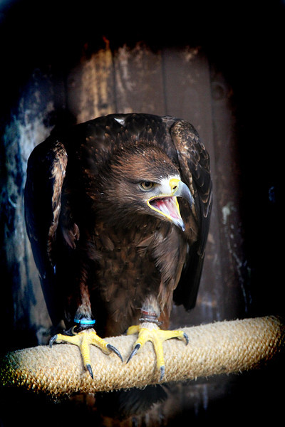 Rufus, a 4 year old Golden/Steppe eagle looking suitably eagle like.