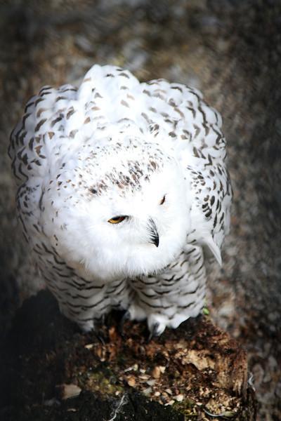 Rikki, a female Snowy Owl born 2001.