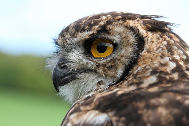 Benji, a male Bengal Eagle Owl, close-up