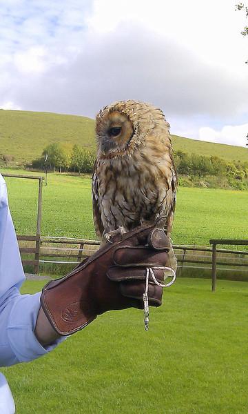 Tetley, a young Tawny Owl