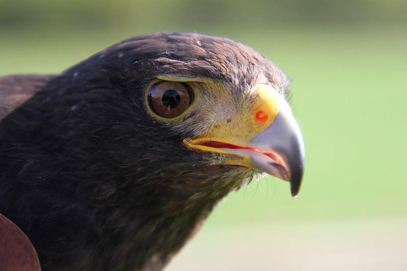 Molly, a female Harris hawk, born 2007.