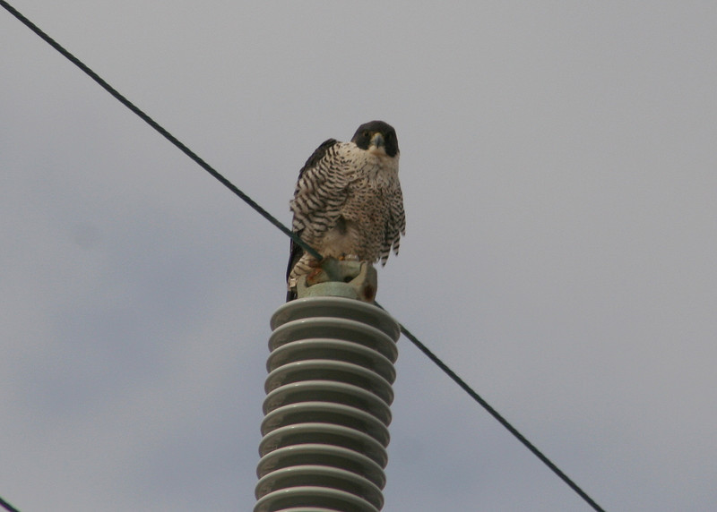 Adult peregrine, possibly one of the pair that may still be using the nest at the burned-out fish factory just off-shore.