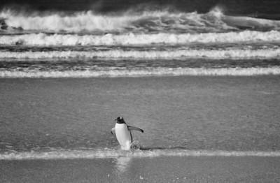These penguins battle strong waves when returning ashore each night.  Gentoo Penguins(Pygoscelis papua). Saunders Island, Falkland Islands.