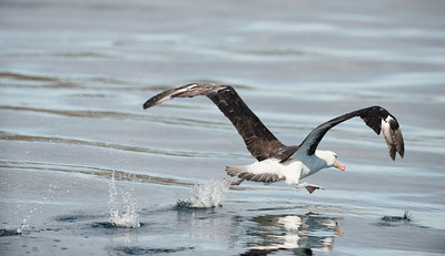 These albatross need to run across the water for several meters before they have the necessary speed to become airborne.  Black-browed albatross (Thalassarche melanophrys).  Carcass Island area, Falkland Islands.