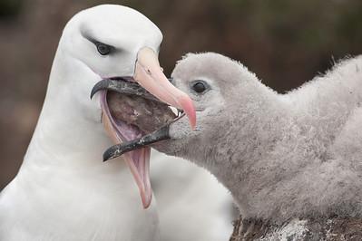 Black-browed albatross (Thalassarche melanophrys).  Saunders Island, Falkland Islands.