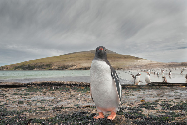 These penguins are very curious and trusting.  It was fantastic to be able to observe them close up as they went about their daily routine.   (Pygoscelis papua). Saunders Island, Falkland Islands.