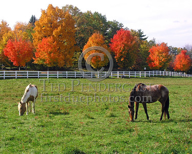 Bedford,MA Rte.4 Horses grazing