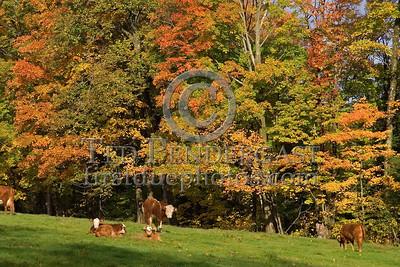 Dover,VT - Dover Hill Road - Cows