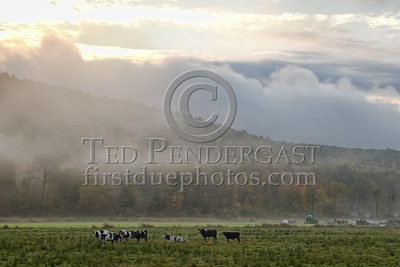 Bernardston,MA - Rte5 - Cows in Field at sunrise - Connecticut River Valley