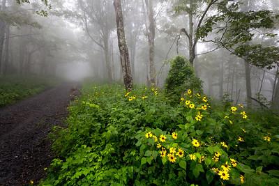 Unaka Mountain Road and Blackeyed Susans