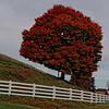 Tree on Phipp's Dairy Farm, Mouth of Wilson, VA