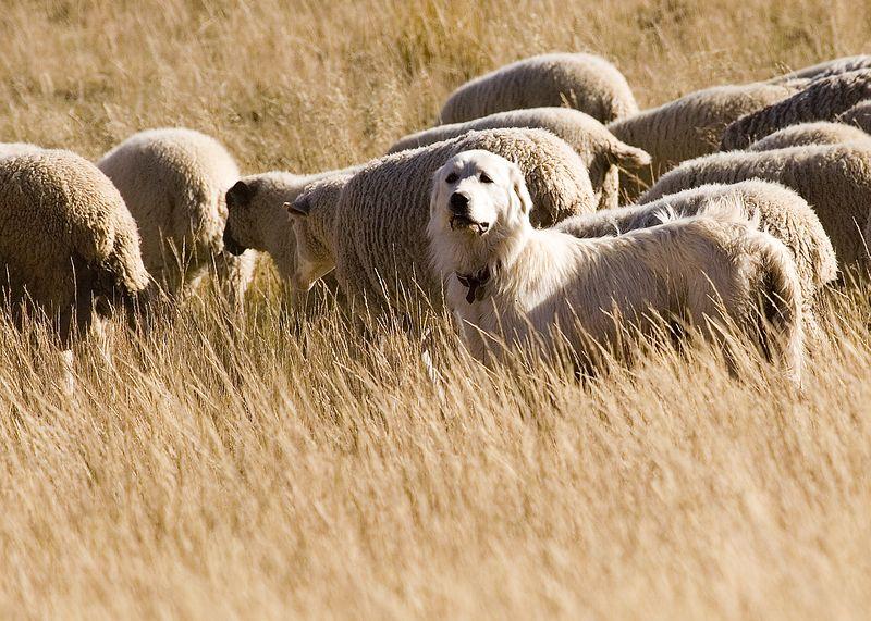 Maremma Sheep Dog At Work