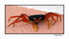 Land Crab - Grand Cayman