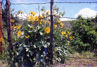 Balsam Root and wire.