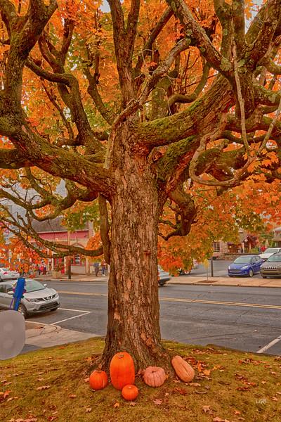 Tree in downtown Black Mountain