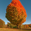 Changing Colors - Maple Tree