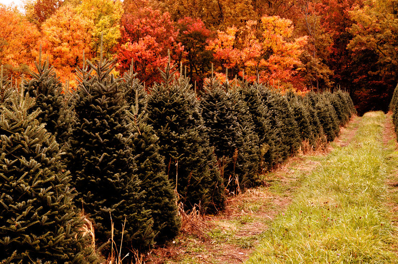 White Top Virginia - Christmas Tree Farm