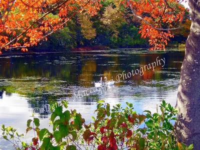 Fall Swans-2-imp