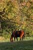 Horse in Maine