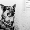 Berlin, US Army retired.  Born 1970, drafted 1971, Retired 1976 after honorably serving as a MWD with US Army ground forces in Germany.  In those days, military working dogs were not yet considered full-fledged Soldiers, Sailors or Marines as they are today, but believe me - he was a pro!  Photo taken 1977, Chipiona Andalusia. He died 18 months later of bladder cancer.  He was bilingual, working in German and doing family duties in English.