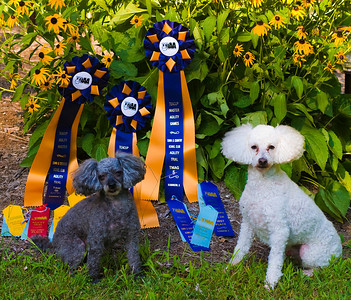 That's right, we are agility show dogs!