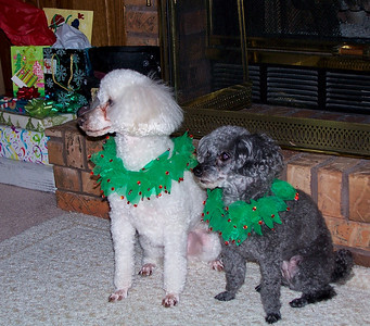 Rizzi and Kerby - This is likely Christmas 2009 and probably needs to be moved to another gallery.  Clearly they are both planning their revenge for Mommy having brought those ridiculous collars to Grandma and Grandpas.