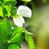Peas Plant