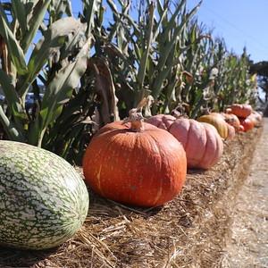 Dartmouth Day at Farmer John's Pumpkin Patch 10/25/15