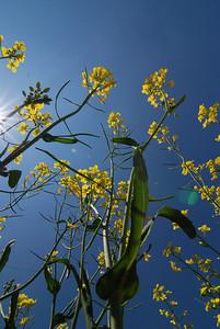 Canola flowers in bloom.  Medora, Manitoba.
