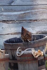 A hen taking a drink.  Sleepy hollow, NY