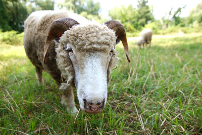 "Inquisitve sheep.  This photo will be on display at the Dark Room Gallery in Essex Junction Vermont in their ""Down on the Farm"" exhibition opening on July 19 2011.  There will be a reception on July 22.  I do not know at this time whether I will be able to be there in person. This photo is on view at the Darkroom Gallery in Essex Jct., VT for their ""Down on the Farm"" show now through August 16th 2011."