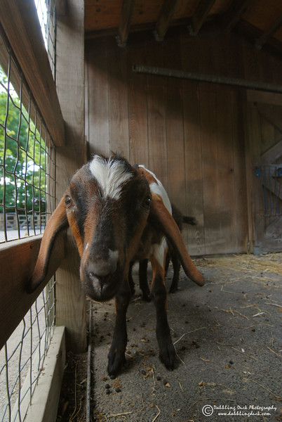 Nubian goat kid. Queens Zoo, NY.