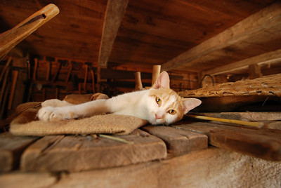 Barn cat.  Sleepy Hollow, NY