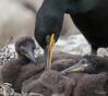 Eurpean Cormorant