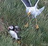 Puffin and Gull