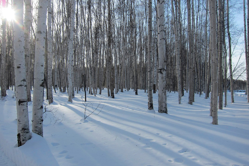 Birch forest along the river trail