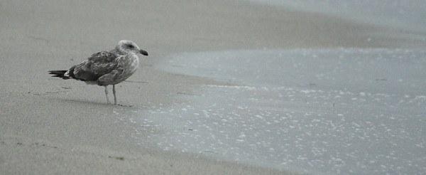 LIVINGSTON, I PRESUME Heermann's Gull, Hermosa Beach, California, 2008