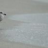LIVINGSTON, I PRESUME<br /> Heermann's Gull, Hermosa Beach, California, 2008