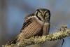 Northern Hawk Owl (Surnia ulula) in the Sax Zim Bog