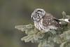 Hunting Boreal Owl (Aegolius funereus) in northern Minnesota