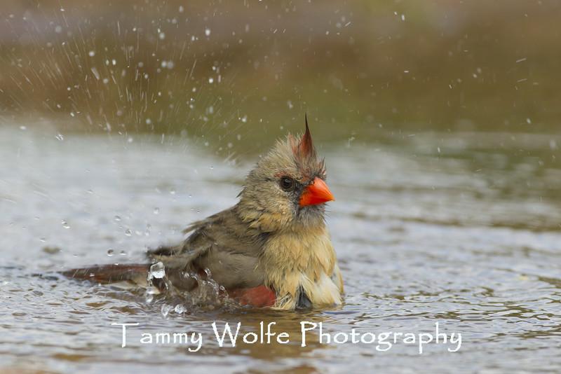 Bathing Northern Cardinal