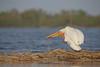 White Pelican (Pelecanus erythrorhynchos)