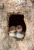 Hooded Merganser (Lophodytes cucullatus)