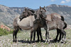 Wild Horse (Equus caballus), Huddled together, Pryor Mountains