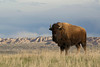 American Bison (Bison bison), Badlands National Park