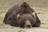 Brown bear (Ursus arctos) Resting, Kinak Bay, Katmai National Park, Alaska